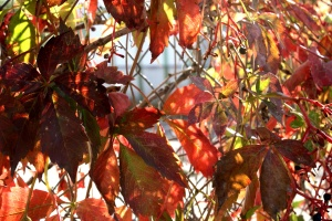 autumn, red leaves, creeper plant, vine leaves