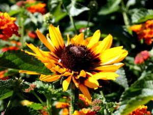 black eyed Susan, flower, flowers