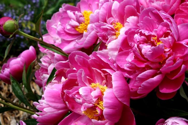 ярки розови листенца, божур, цветя