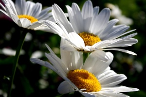 white daisies, nectar