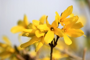 forsythia plant, blossoms