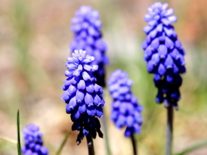 grape hyacinth plants, flowers
