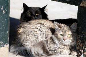 chats à poils longs, chatons domestiques