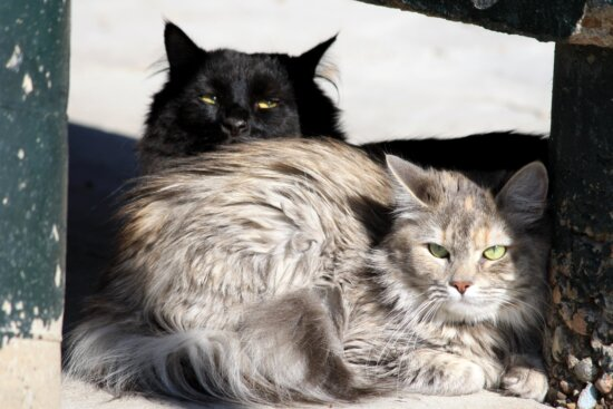 long haired cats, domestic kittens