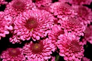 crisantemi, fiore, di colore rosso magenta