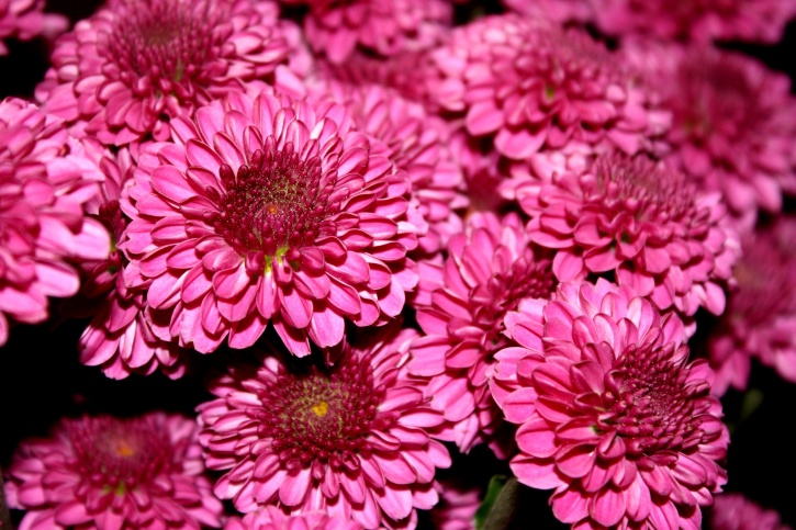 chrysanthemums, flower, magenta color