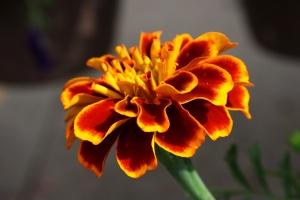 Marigold blomster