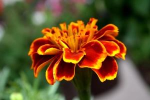 nechtík kvet, zblízka