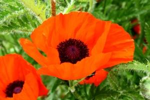 orange colored petals, poppy flower