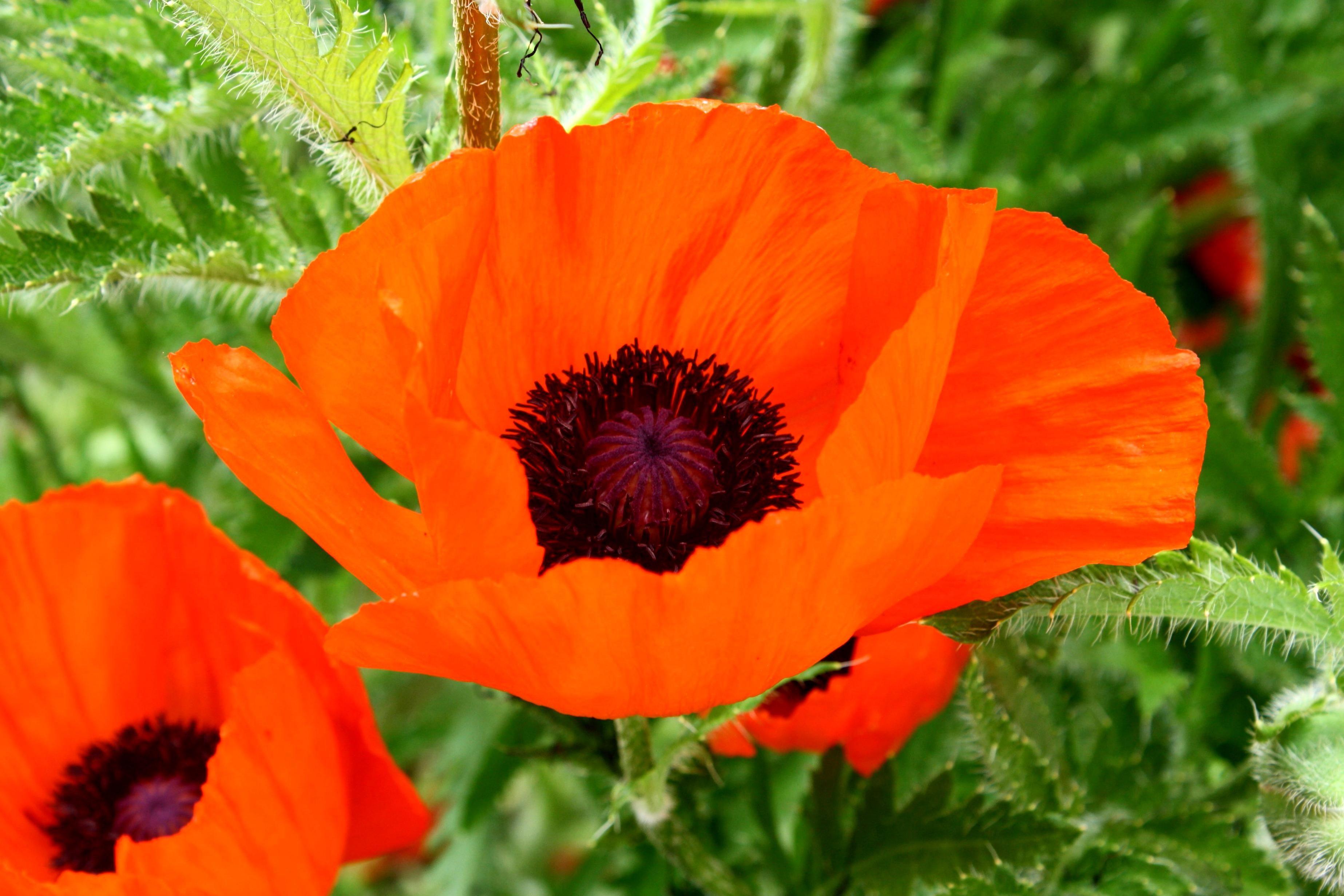 Free Picture Orange Colored Petals Poppy Flower