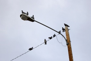 pigeons perched, street lamp, electricity