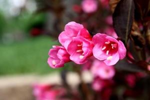 pink flowers, weigela, wild roses, bush