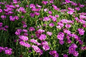 rosa Blumen, Feldblumen