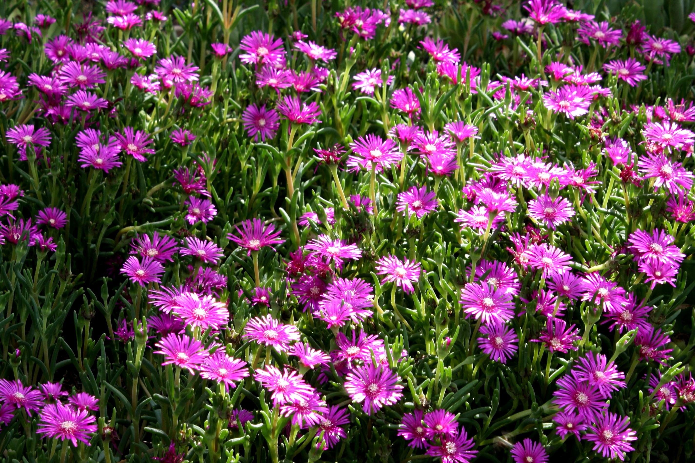 Free picture pink flowers field flowers pink flowers field flowers mightylinksfo