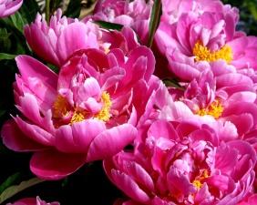 peonies flowers, pistil, spring