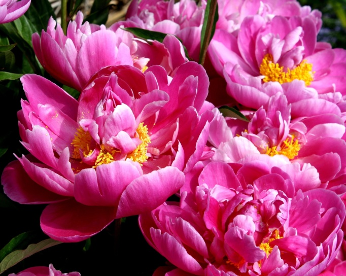 παιώνιες λουλούδια, ύπερο, άνοιξη