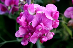 pink, sweet pea, flowers