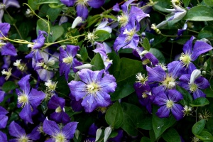 purple petals, clematis flowers