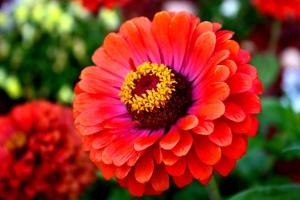 červené, cínie květina, načervenalé květy