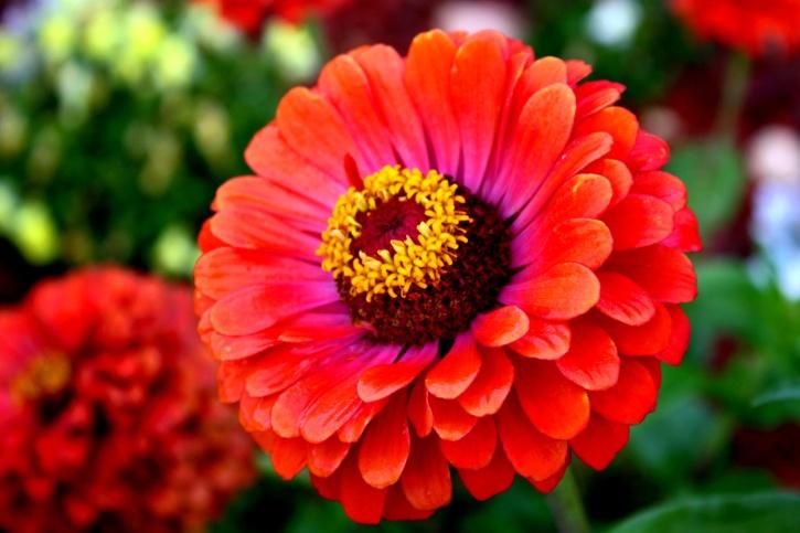 red, zinnia flower, reddish flowers