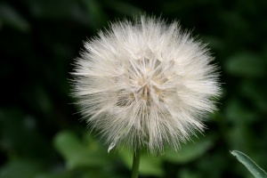 thistle, seed, puff, flower
