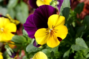 tricolor, colorful flowers, flower garden, close
