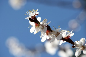 apricot tree, blossoms, white petals, orchard