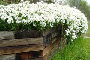 white flowers, wooden box, garden