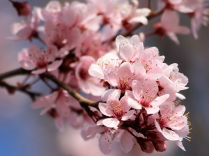 pink petals, flowers, spring, nectar, blossoms