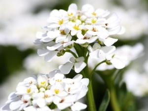 doux, plante, fleurs blanches, à proximité