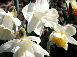 daffodil flowers, white daffodils, pistil, vegetation, petals