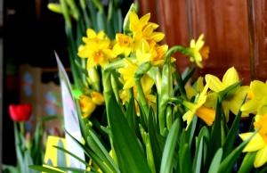 daffodils, flower shop, flower garden