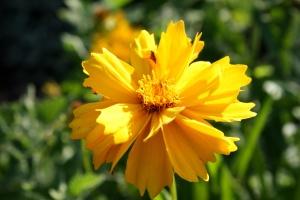 golden yellow color, coreopsis flower, petals
