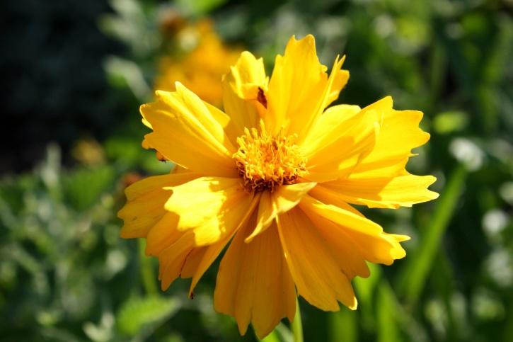 黄金色、ハルシャギクの花、花びら