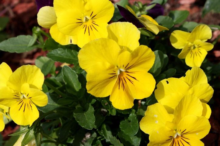 yellow flowers, garden