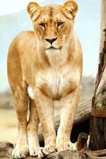 lioness, lion, Safari, wild, wildlife, ZOO park, Africa