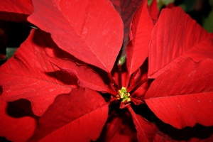 poinsettia flower, close, red leaves, pistil, nectar, pollen