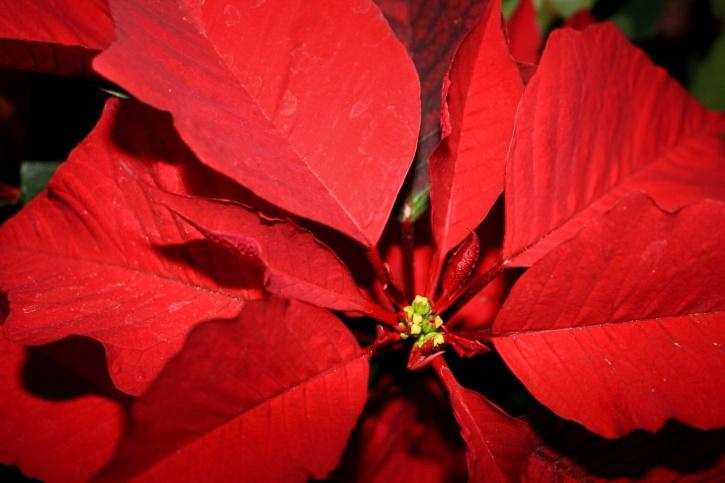 poinsettia flower, close, red leaves, pistil, nectar, pollen