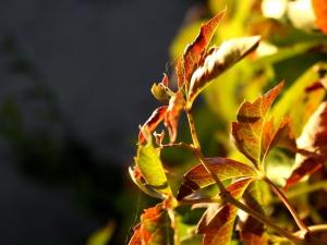 automne, feuilles de lierre