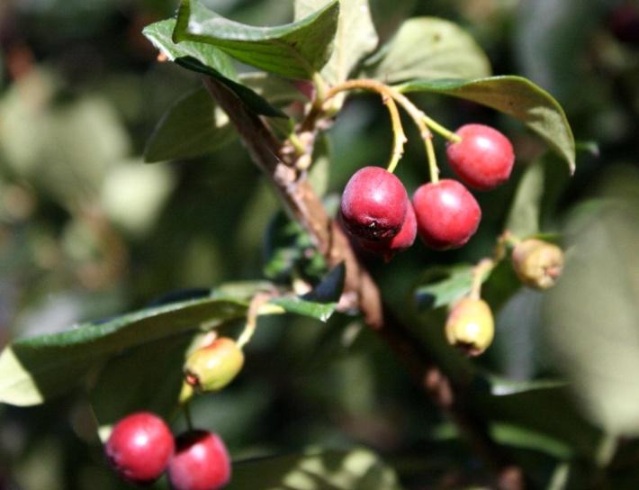 berries, bush, fruit, shrub