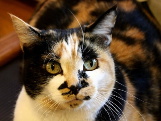 calico cat, colorful cat, eyes,domestic pet, animal, kitten, kitty