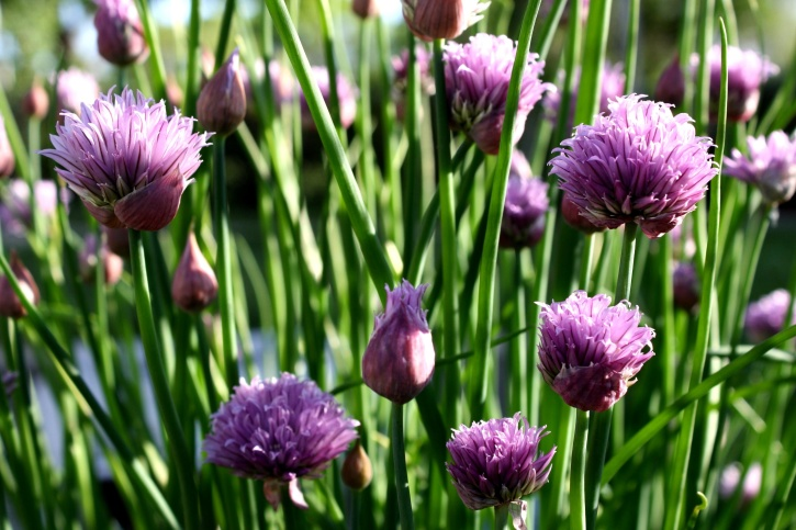wildflowers, grass, purple onion, vegetation, spring