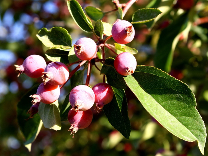 small apples, fruit branch