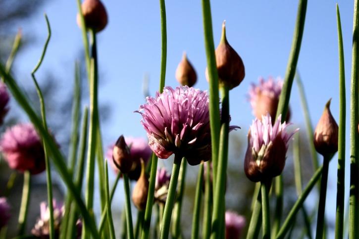 flowering, chive flower, purple onion