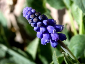 grape hyacinth flower, close, purple color, spring,  flower