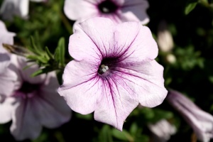 light purple color, petunia flowers