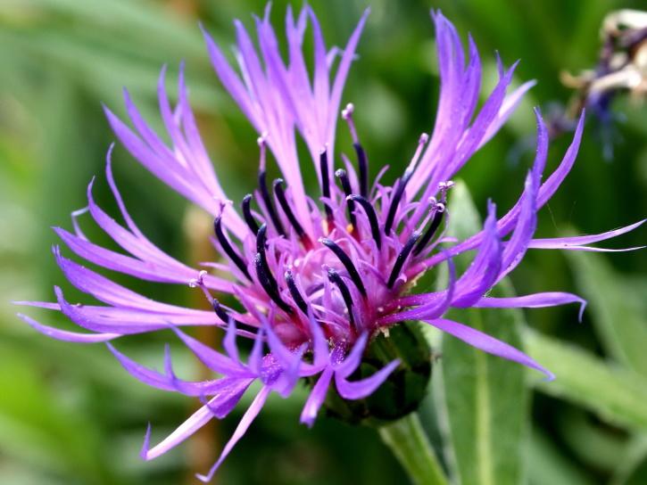 mountain, blue flower, pistil, pollen