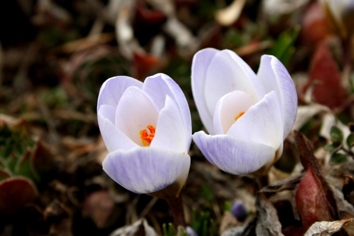 white petals, purple color, crocus, flowers