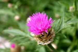 màu hồng, thistle, Hoa, gai