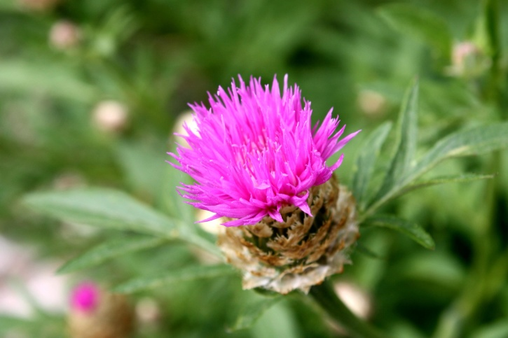 pink, thistle, flower, thorn